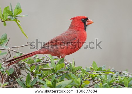 Male Northern Cardinal on Vines
