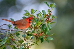 Male Northern Cardinal Perched in American Holly Tree Loaded with Berries