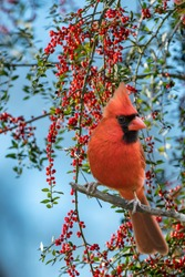 Male Northern Cardinal Perched in Front of Bough of Bright Red Holly Berries Against Blue Sky in Louisiana January