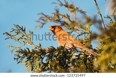 Male Northern Cardinal perched on a cedar hedge in the sun in winter.