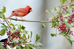 Male Northern Cardinal Perched on Branch of an American Holly Tree filled with Red Berries