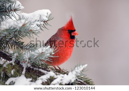 Male northern cardinal sitting in an evergreen tree following a winter snowstorm