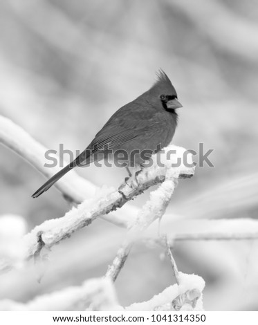 Male Northern Cardinal vertical black and white photo