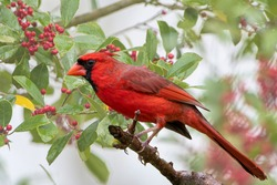 Male Northern Cardinal with American Holly Tree Filled with Ripe Berries in Background
