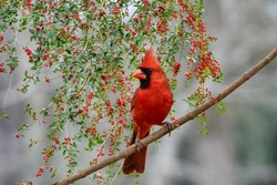 Male Northern Cardinal with Holly Berry Bough in Background