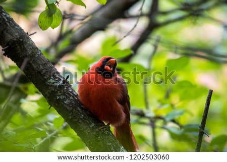 Male Northern Cardinal yawning