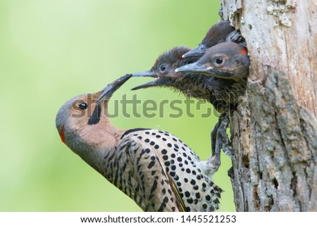 Male Northern flicker (Colaptes auratus) or common flicker at nest Foto stock ©