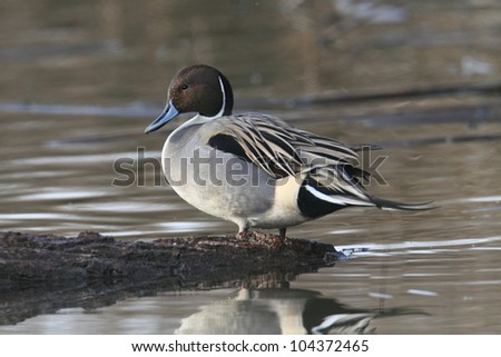 Male Northern Pintail (Anas acuta) on a log in a pond