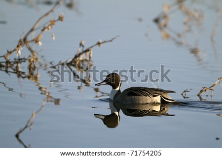 Male Northern Pintail Duck wintering at Bosque del Apache National Wildlife Refuge in New Mexico