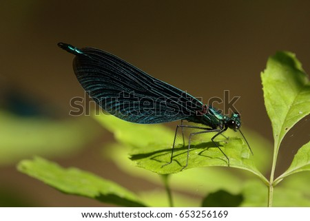 Male of a beautiful demoiselle sitting on a vegetation. A comon European dragonfly species on a close up picture.