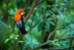 Male of Andean Cock-of-the-rock (Rupicola peruvianus) lekking and dyplaing in front of females, typical mating behaviour, beautiful orange bird in its natural enviroment, amazonian rain forest, Peru