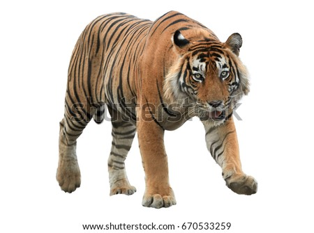 Shutterstock Male of Bengal tiger, Panthera tigris, isolated on white background. Tiger from front view, staring directly at camera. Indian wildlife, Ranthambore, India.