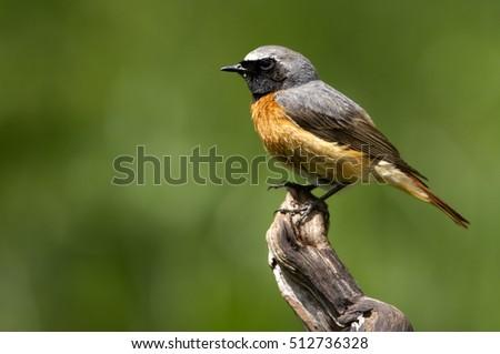 Male of Common redstart