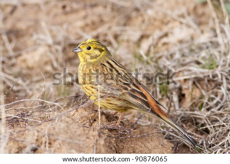 Male of Emberiza citrinella, Yellowhammer, photographed in nature
