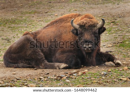 Male of European bison (bison bonasus) lying and ruminating after grazing. Endangered species from Europe.
