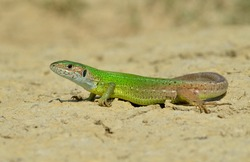 Male of green lizard (Lacerta viridis)