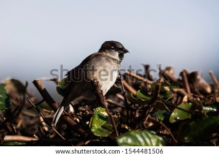 Male of House Sparrow or Sparrow. His Latin name is Passer domesticus. #1544481506
