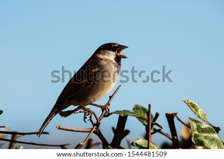 Male of House Sparrow or Sparrow. His Latin name is Passer domesticus. #1544481509