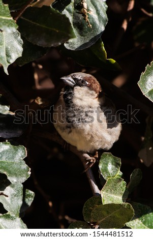 Male of House Sparrow or Sparrow. His Latin name is Passer domesticus. #1544481512