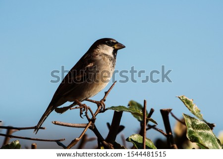 Male of House Sparrow or Sparrow. His Latin name is Passer domesticus. #1544481515