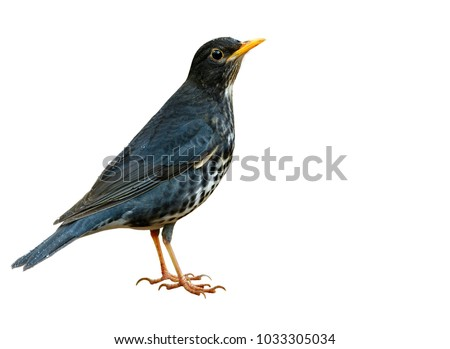 Male of Japanese thrush (Turdus cardis) Amazed grey to black brid with white belly yellow beaks and legs fully standing showing details from head to tail isolated on white background