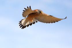 Male of Lesser kestrel flying, falcons, birds, lesser, kestrel