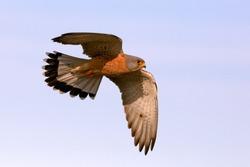 Male of Lesser kestrel flying, lesser, falcon, birds, kestrel