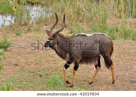 male of nyala antelope in Kruger NP,South Africa