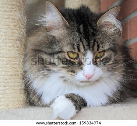 male of siberian cat, brown tabby with white