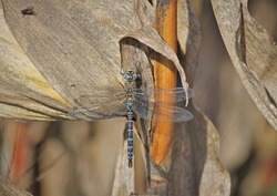 Male of the migrant hawker (Aeshna mixta), is one of the smaller species of hawker dragonflies. Occurs in North Africa, southern and central Europe to the Baltic region.