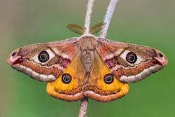 Male of The Small Emperor Moth (Saturnia pavonia), macro photo.