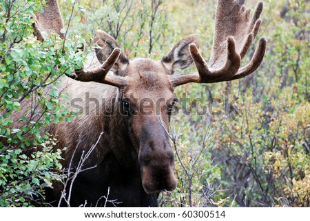 Male or Bull Moose in Denali National Park