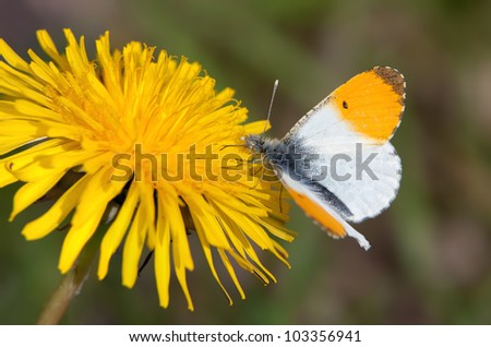 Male Orange Tip butterfly (Anthocharis cardamines) - stock photo