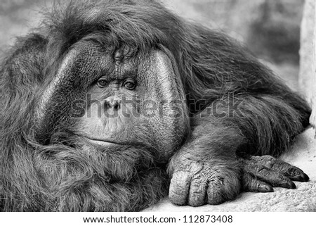 Male orangutan (Pongo pygmaeus) portrait - stock photo