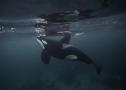Male orca, killer whale, using it's tail fin to stun herring in a bait ball so it can feed on them, Andenes, Norway.