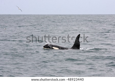 Male orca or killer whale, Iceland, Atlantic Ocean