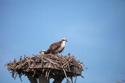 Male osprey bird Pandion haliaetus in a nest high above the Myakka River in Sarasota, Florida.
