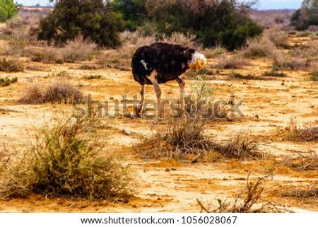 Male Ostrich at an Ostrich Farm in Oudtshoorn in the semi desert Little Karoo Region Western Cape Province of South Africa - Shutterstock ID 1056028067