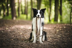 Male owner putting on leash on the dog outdoor. Happy young border collie in the forest.