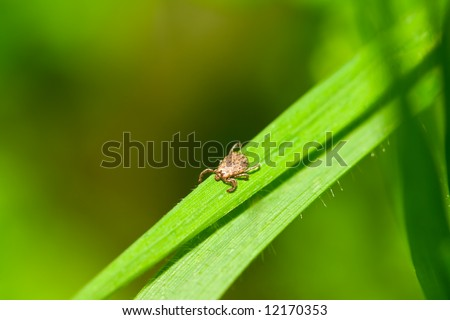 Male Pacific Coast Tick, Dermacentor occidentalis, on blade of grass