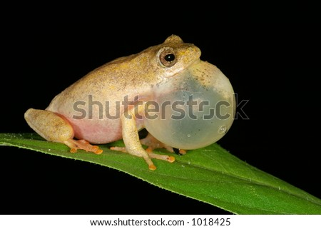 Male painted reed frog (Hyperolius marmoratus) calling during the night, South Africa