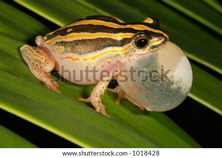 Male painted reed frog (Hyperolius marmoratus) calling during the night, South Africa - stock photo