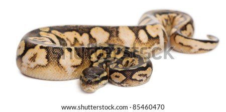 Male Pastel calico Python, Royal python or ball python, Python regius, 11 months old, in front of white background