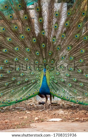 Male peacock dancing very expensive. Stock fotó ©