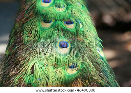 male peacock feathers close up