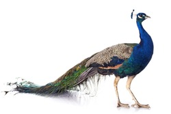 male peacock in front of white background