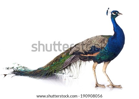 male peacock in front of white background Foto stock ©