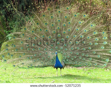 Male (peacock), the Indian Peafowl, (Pavo cristatus) also known as the Common Peafowl or the Blue Peafowl