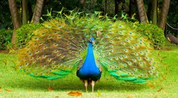 Male peacock with colorful tail