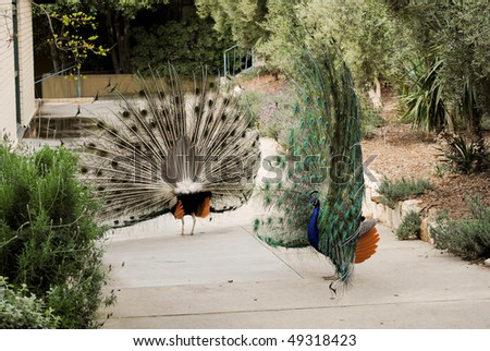 male peacocks competing for females